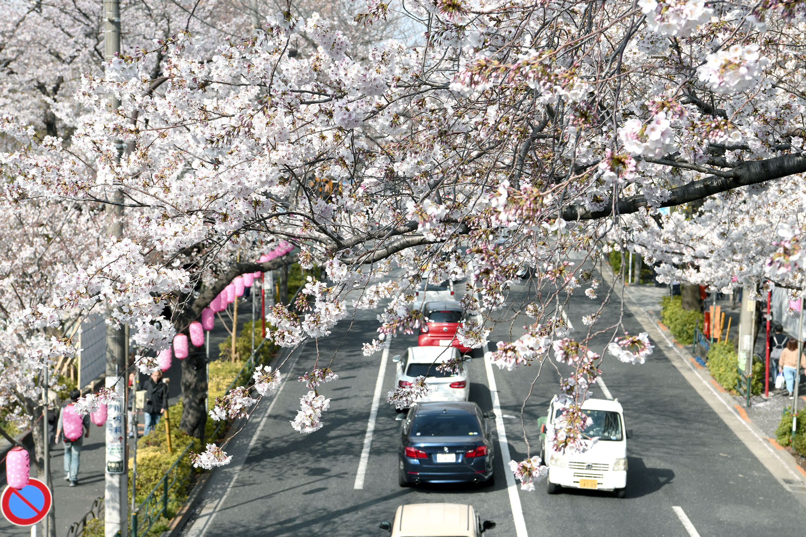 中野通り櫻花