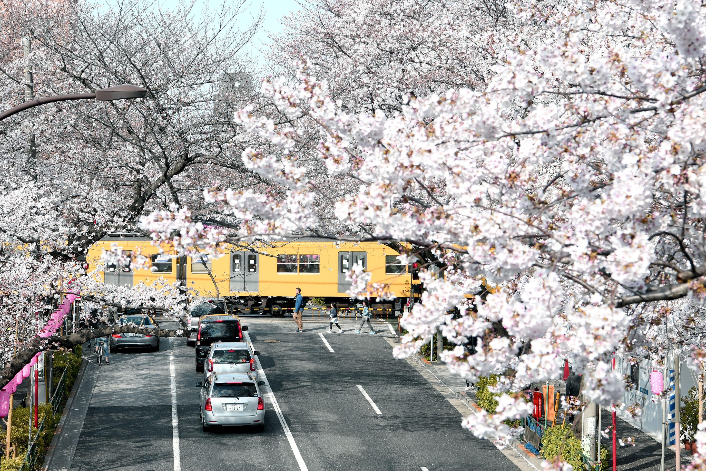 東京櫻花一期一會|男子花見散策(千鳥之淵、目黑川、新井藥師前站、芭蕉通り) @MENS 30S LIFE