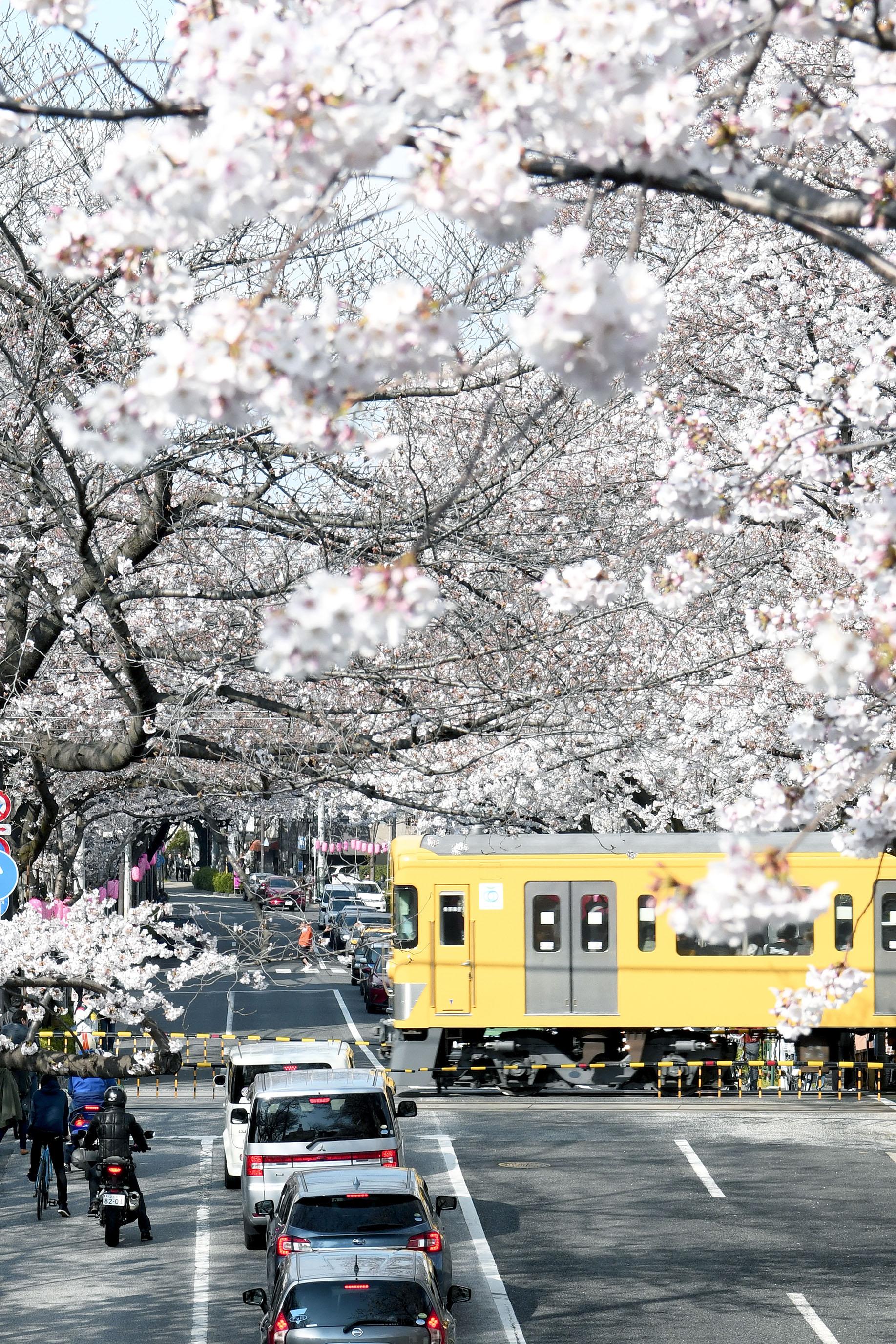 東京櫻花一期一會|男子花見散策(千鳥之淵、目黑川、新井藥師前站、芭蕉通り)