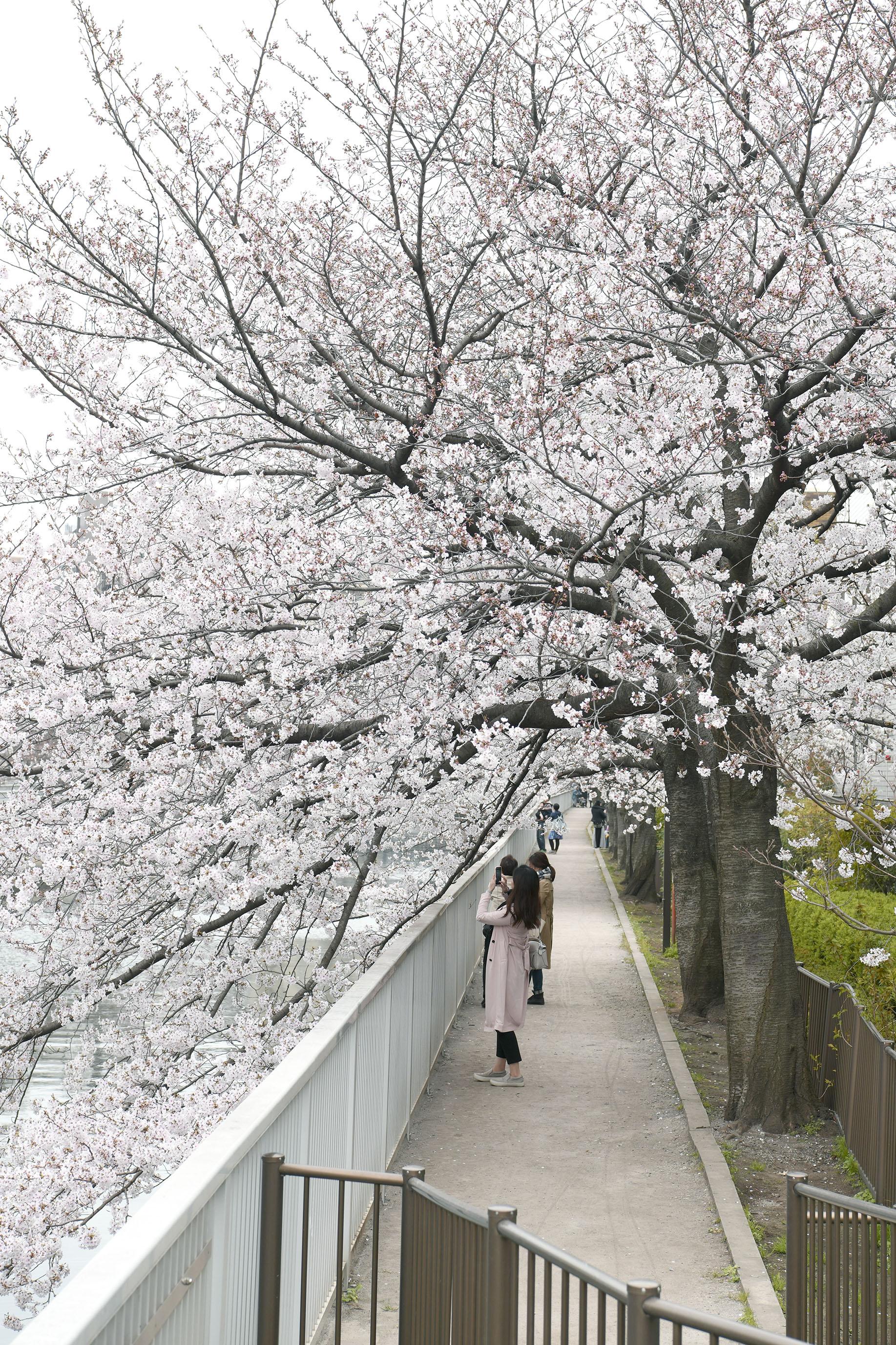 芭蕉通り櫻花