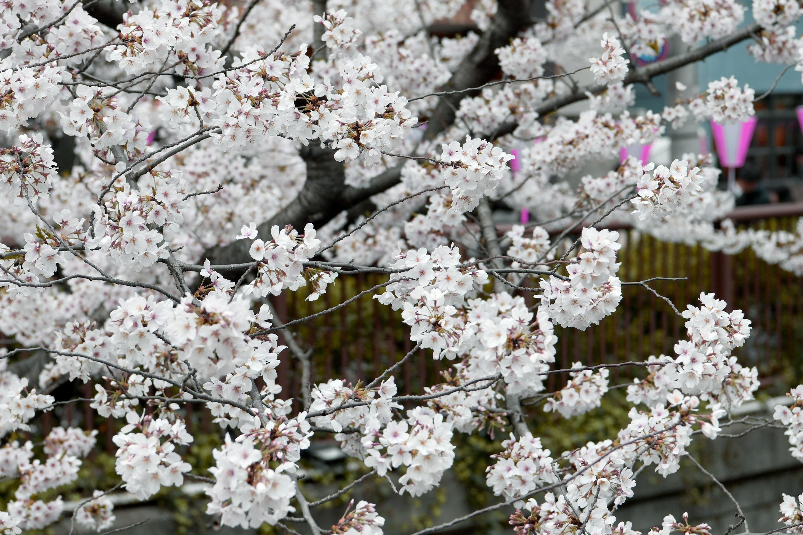 目黑川櫻花